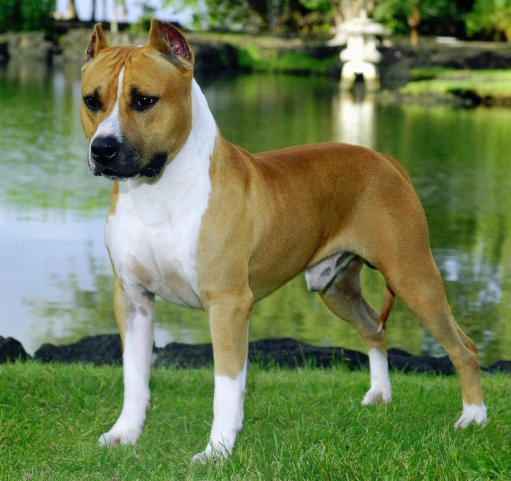 coloracion del perro AmericanStaffordshireTerrier