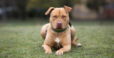 American Staffordshire Terrier caracteristicas