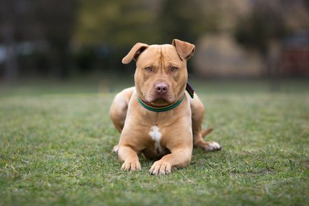 American Staffordshire Terrier caracteristicas
