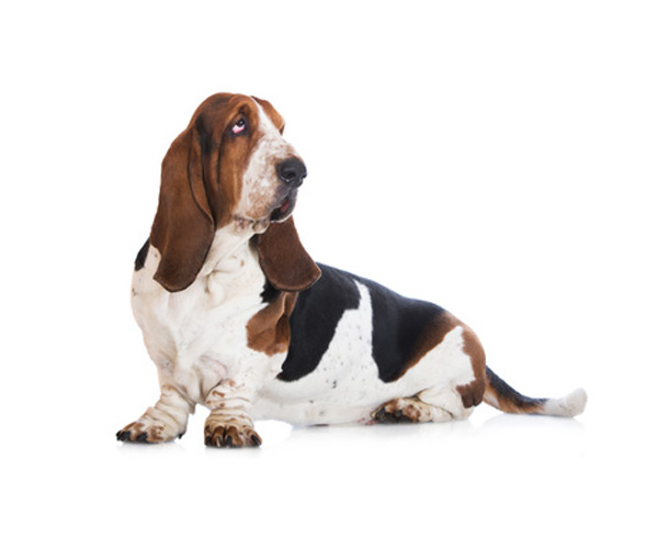 perro basset hound