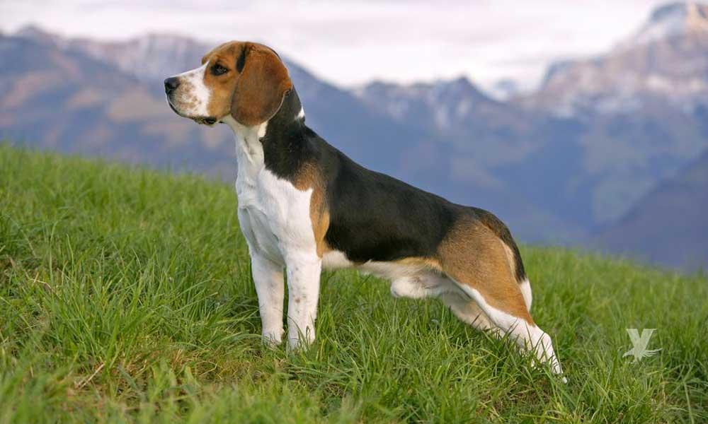 El perro Beagle una raza excelente para la caceria