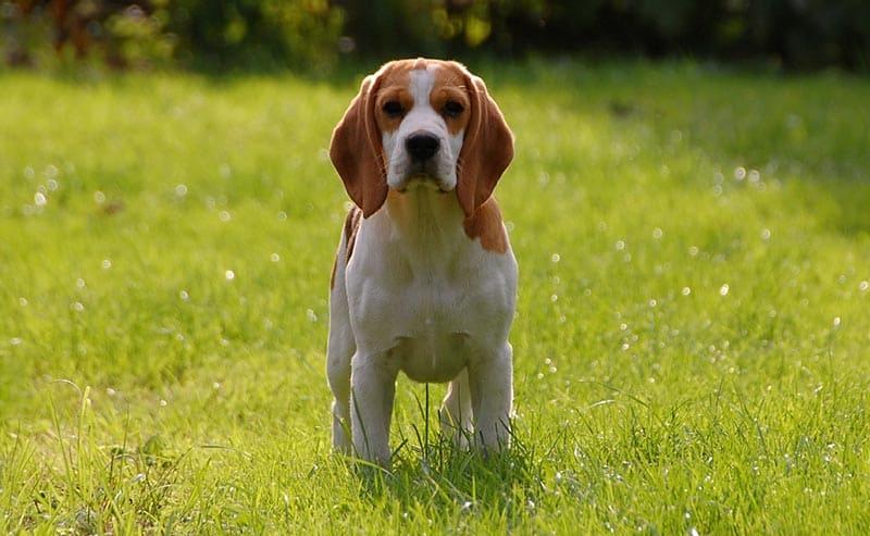 beagle perro pequeño