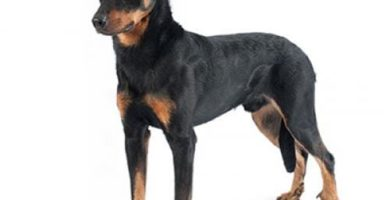 historia del perro beauceron