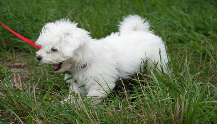 cachorro de perro bichon boloñes