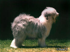 Perro Bobtail