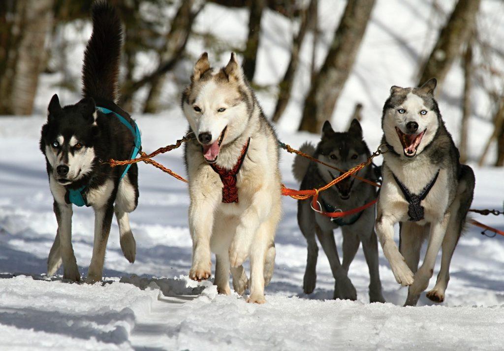 descendencia de la raza de perros