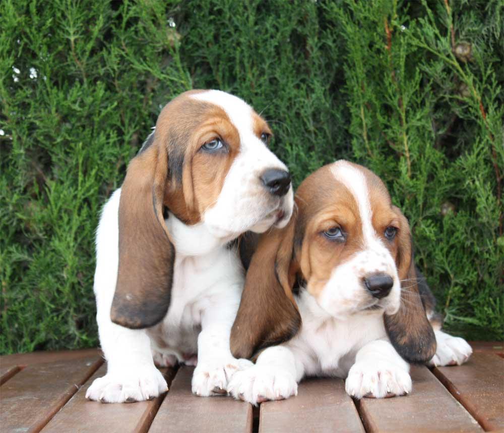 Basset Hound cachorros