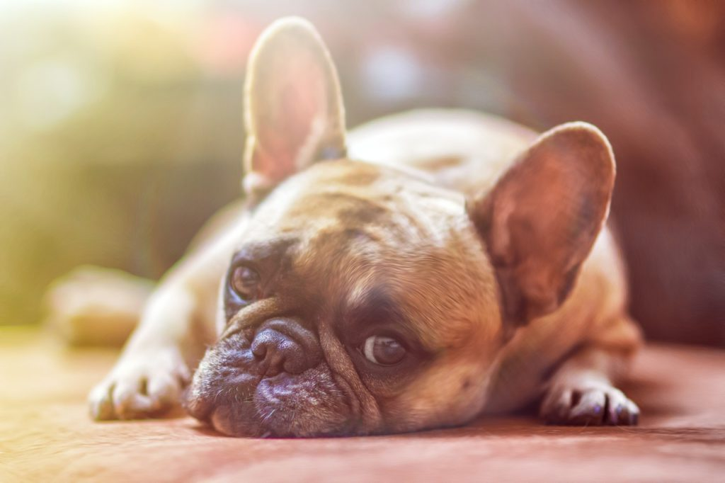 fotos de razas de perros pequeños