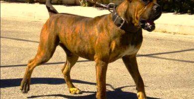 historia-del-perro-alano-espanol