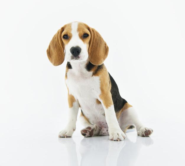 cachorro de perro beagle