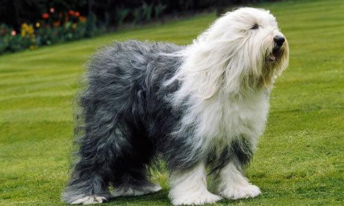 Caracteristicas del perro Bobtail