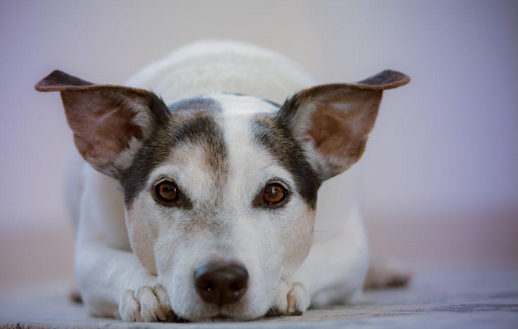 razas de perro pequeñas